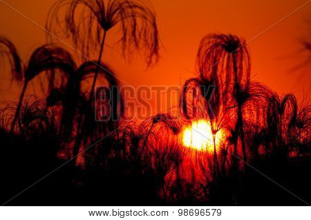 Silhouette Of Papyrus At Sunset