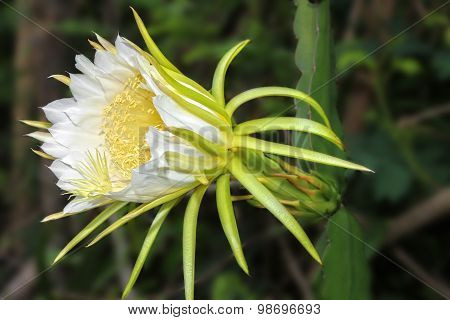 Dragon fruit flower on blooming (hylocereus cactaceae)