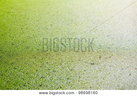 Water Surface Covered With Green Duckweed