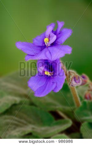 Flor violeta (Viola Odorata)