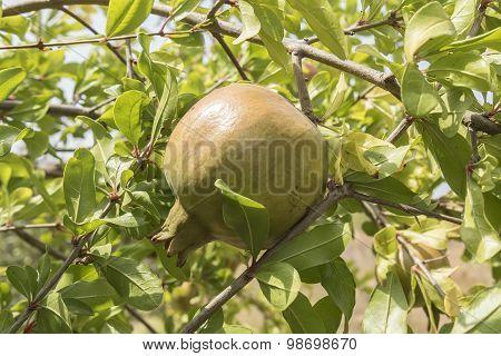 Unripe Pomegranate In The Tree