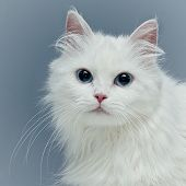 White fluffy cat with blue eyes poster
