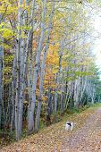 Постер, плакат: Wire fox terrier on the portion of the Trans Canada Trail in rural Prince Edward Island known as th
