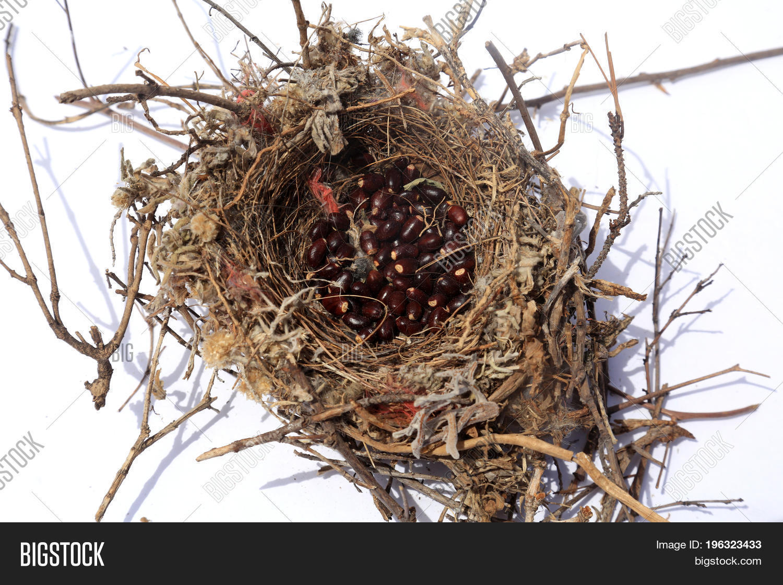 Northern mockingbird nest