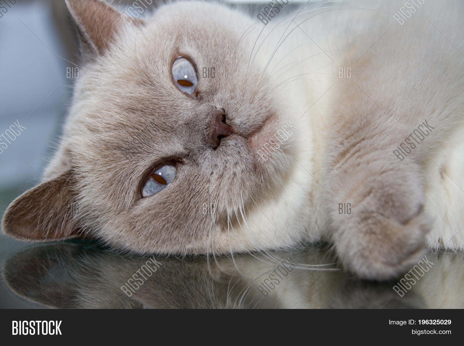 Close up White British Shorthair Cat Table Glass Surface