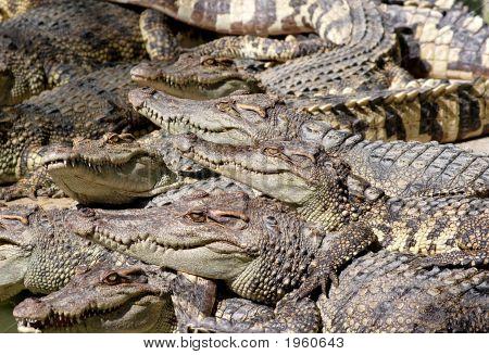 Crocodile Community