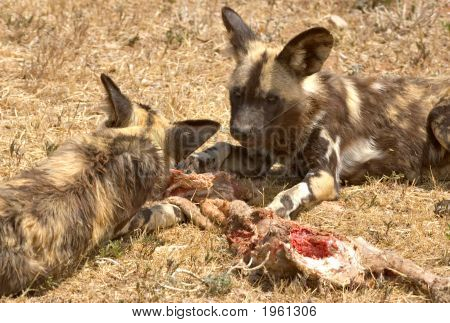 Cape Hunting Dogs