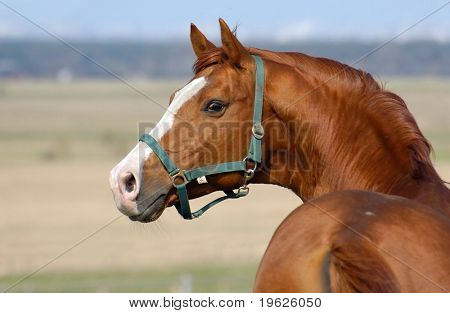 trakehner sorrel stallion
