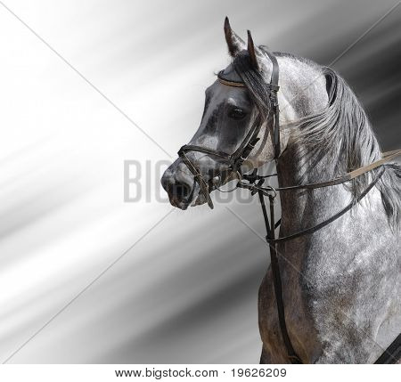 portrait of the arabian stallion