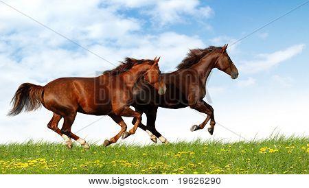 galope de cavalos
