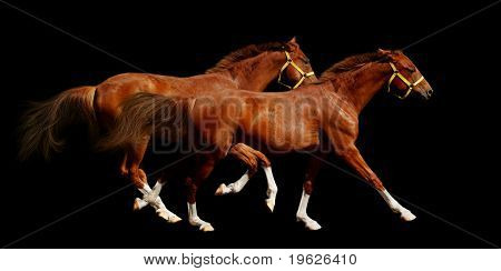 sorrel horses gallop - isolated on black