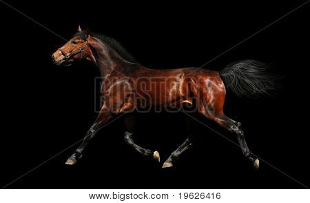 hanoverian stallion trots - isolated on black
