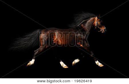 arabian stallion trots - isolated on black