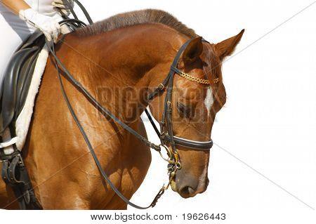 caballo de doma, acedera - aislado en blanco