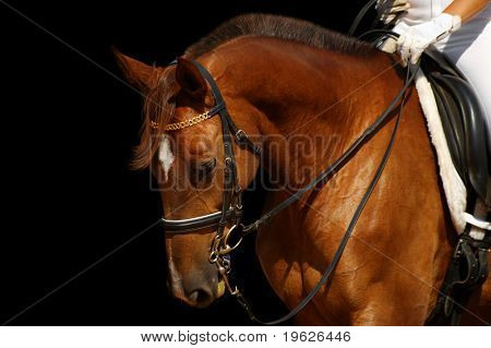 caballo de doma, acedera - aislado en negro