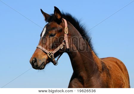 portrait of bay trakehner foal