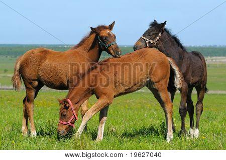 tree trakehner foals in field