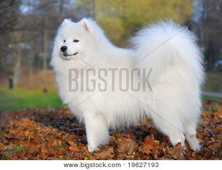 samoyed dog - Juvenile Champion of Russia