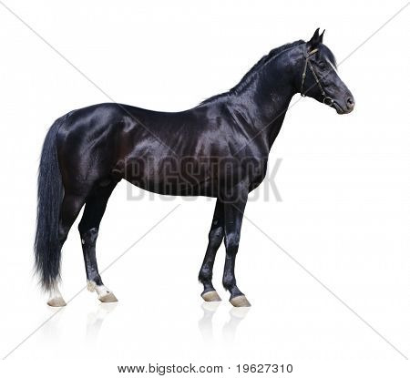 Trakehner black stallion isolated on white