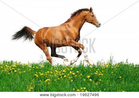 Trakehner stallion gallops in field - isolated on white