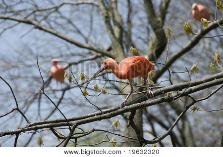 Scarlet Ibis On Limb