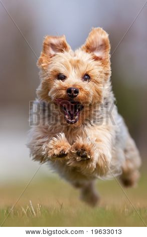 A happy Yorkshire terrier running at the camera, shallow depth of field with focus on the face