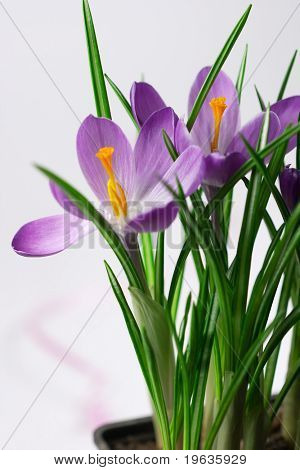 Crocus on white background