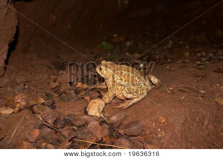 cavern toad