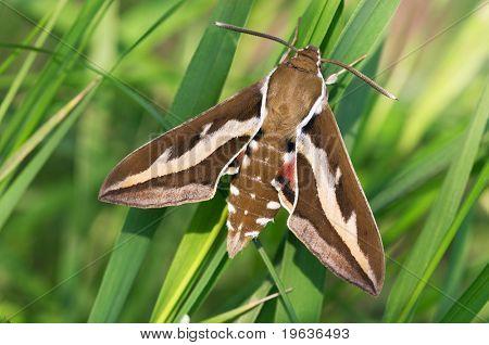 triangular butterfly