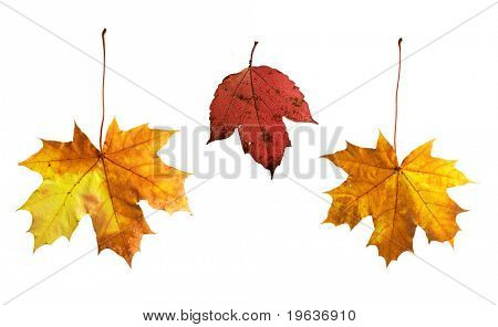 Full-size composite photo of various autumn leaves: maple, viburnum (guelder rose). Isolated on white background, clipping path included.