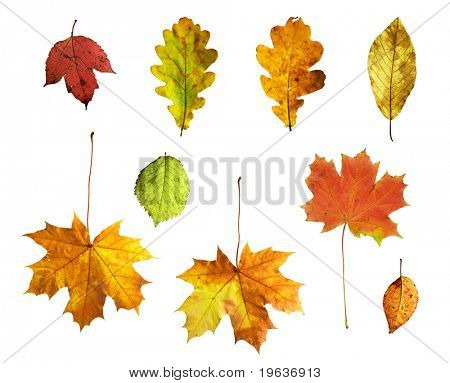 Full-size composite photo of various autumn leaves: maple, oak, viburnum (guelder rose), honeysuckle, apple and alder-tree. Isolated on white background.