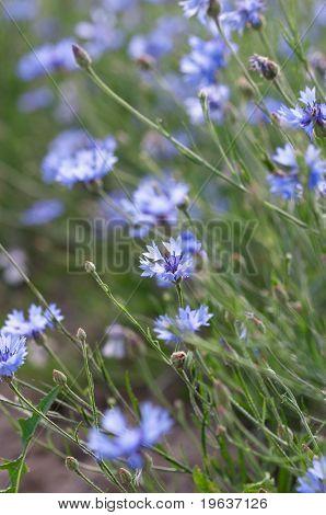 Bluets background
