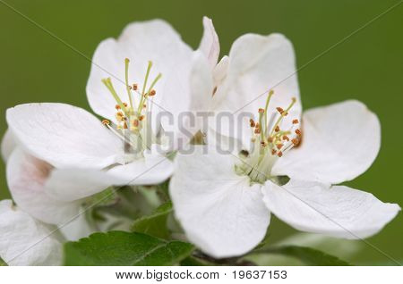 Closeup of apple blossoms