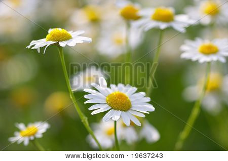 Closeup of daisies (medical camomile)