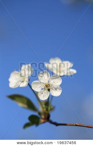 Closeup of cherry blossoms on blue sky. Free top place for something