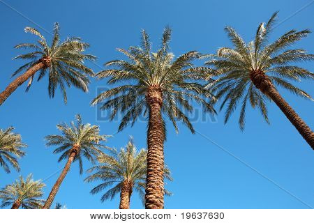 Palms on blue sky. Las Vegas.
