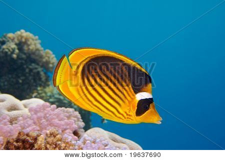 Closeup of Butterfly fish - Chaetodon austriacus - Underwater shot, Red Sea, Sinai, Egypt
