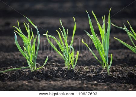 Spring garden plants - garlic, onion
