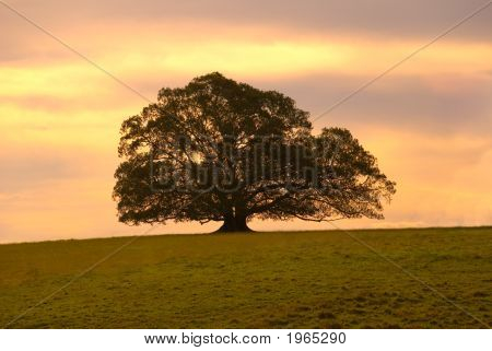 Single Moreton Bay Fig Tree