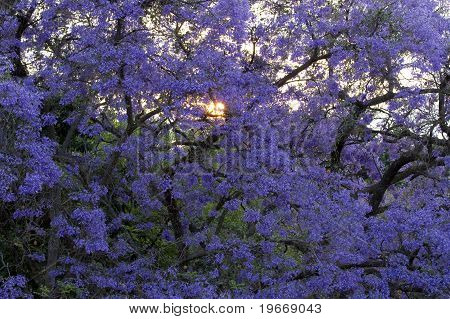 Jacaranda Tree With Sun Behind