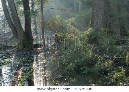 Bialowieza Forest Riparian Stand In Morning