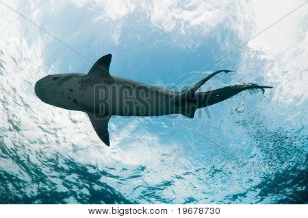 Tiger shark at surface