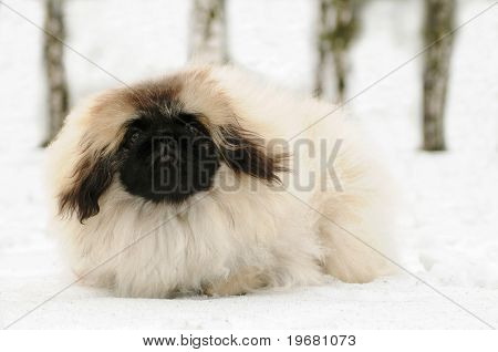 White Pekinese Dog At Snow