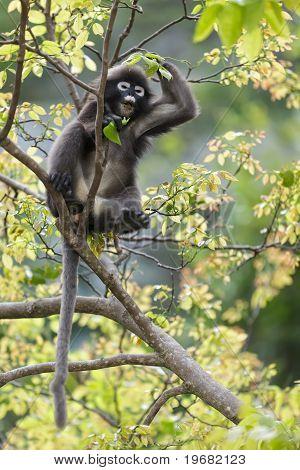 Dusky blad Monkey