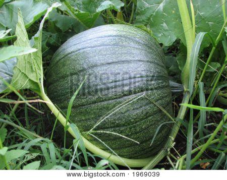 Pumpkin In Green