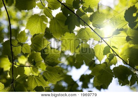 Sunny Forest Canopy