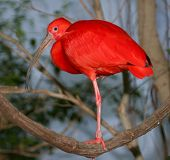stock photo of scarlet ibis  - Scarlet Ibis South America bird - JPG