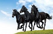 image of troika  - black horses dallop - JPG