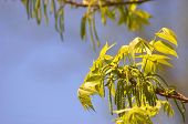 stock photo of pecan tree  - Pecan tree blooms and leaves against blue sky - JPG