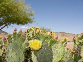 image of prickly pears  - Blooming Prickly Pear Cactus and Mesquite Tree in Spring Desert Arizona - JPG